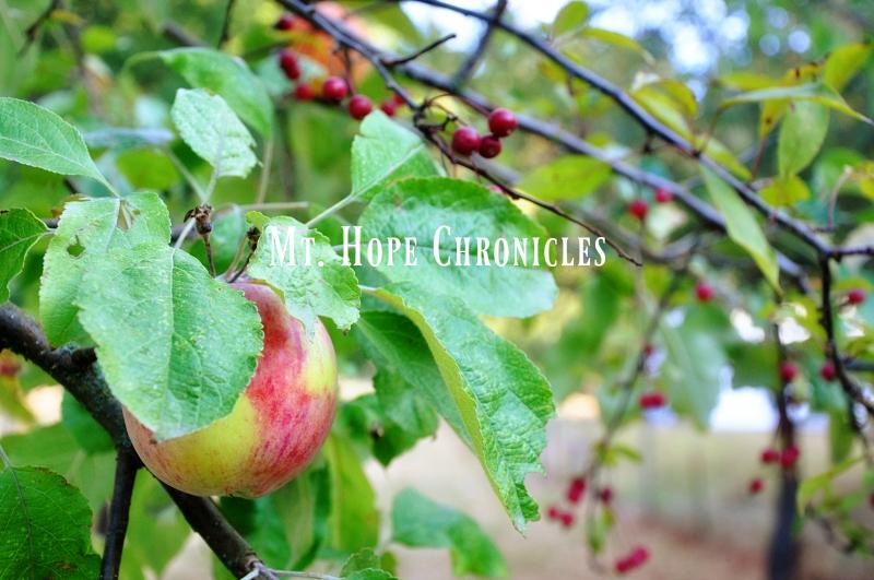 Autumn Apples @ Mt. Hope Chronicles