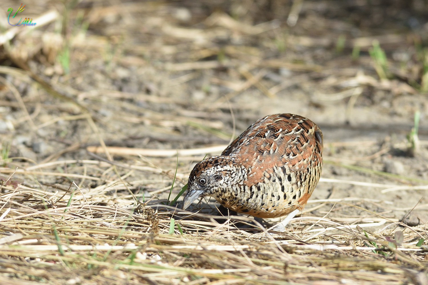 Barred_Buttonquail_2498
