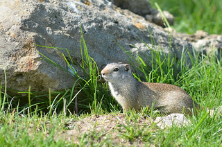 Wyoming Ground Squirrel | by malcolmgold