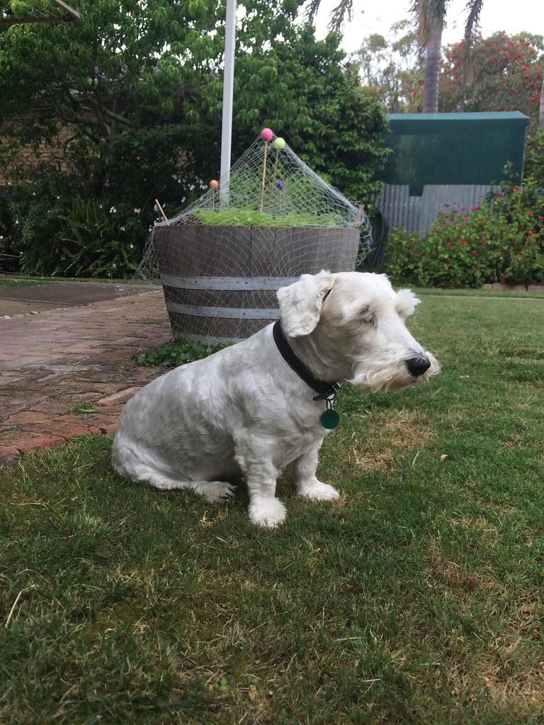 Hes An Old Dog Our Morgan A Sealyham Terrier