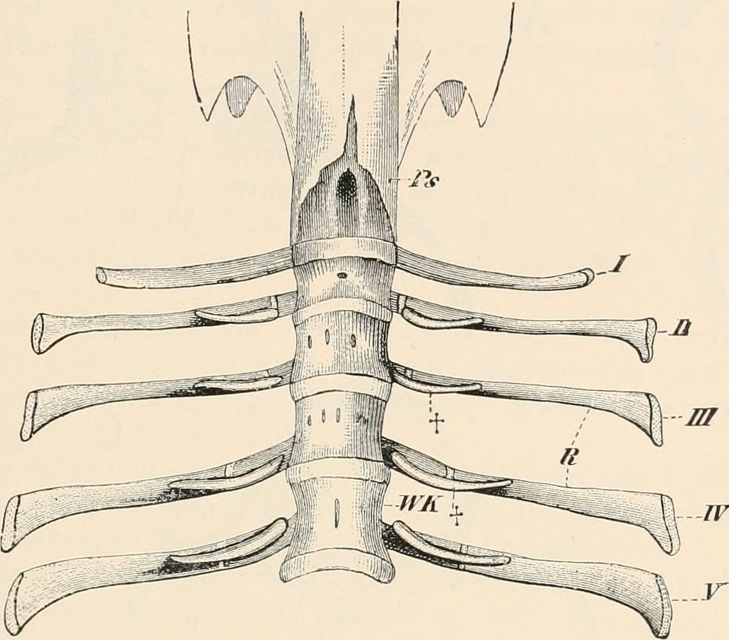Image From Page 82 Of Comparative Anatomy Of Vertebrates Flickr