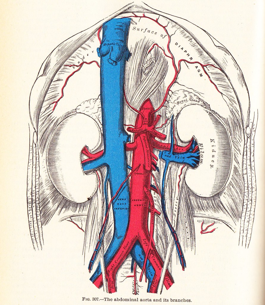 The abdominal aorta and branches - Gray\'s Anatomy 1924 | Flickr