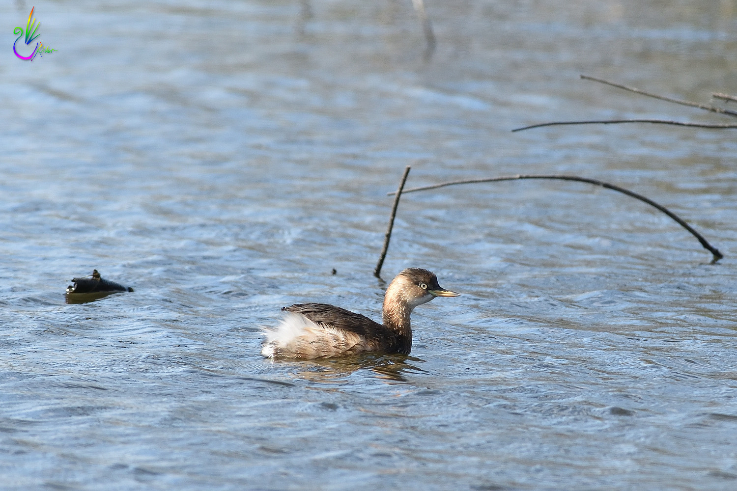 Little_Grebe_9758