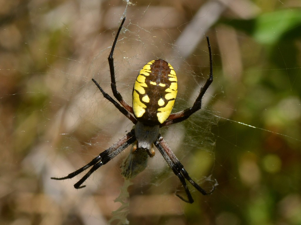Black and Yellow Garden Spider (Argiope aurantia) in the O… | Flickr