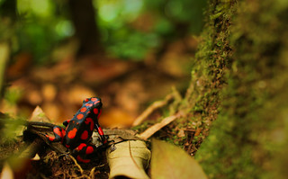Poison Dart Frog | by sphaisell