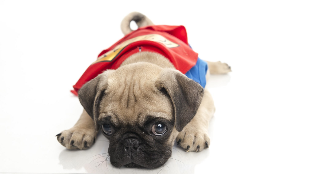 Cute Pug In Superman Costume Eddie Flores Flickr