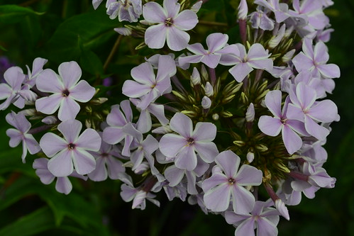 PHLOX paniculata 'All in One'