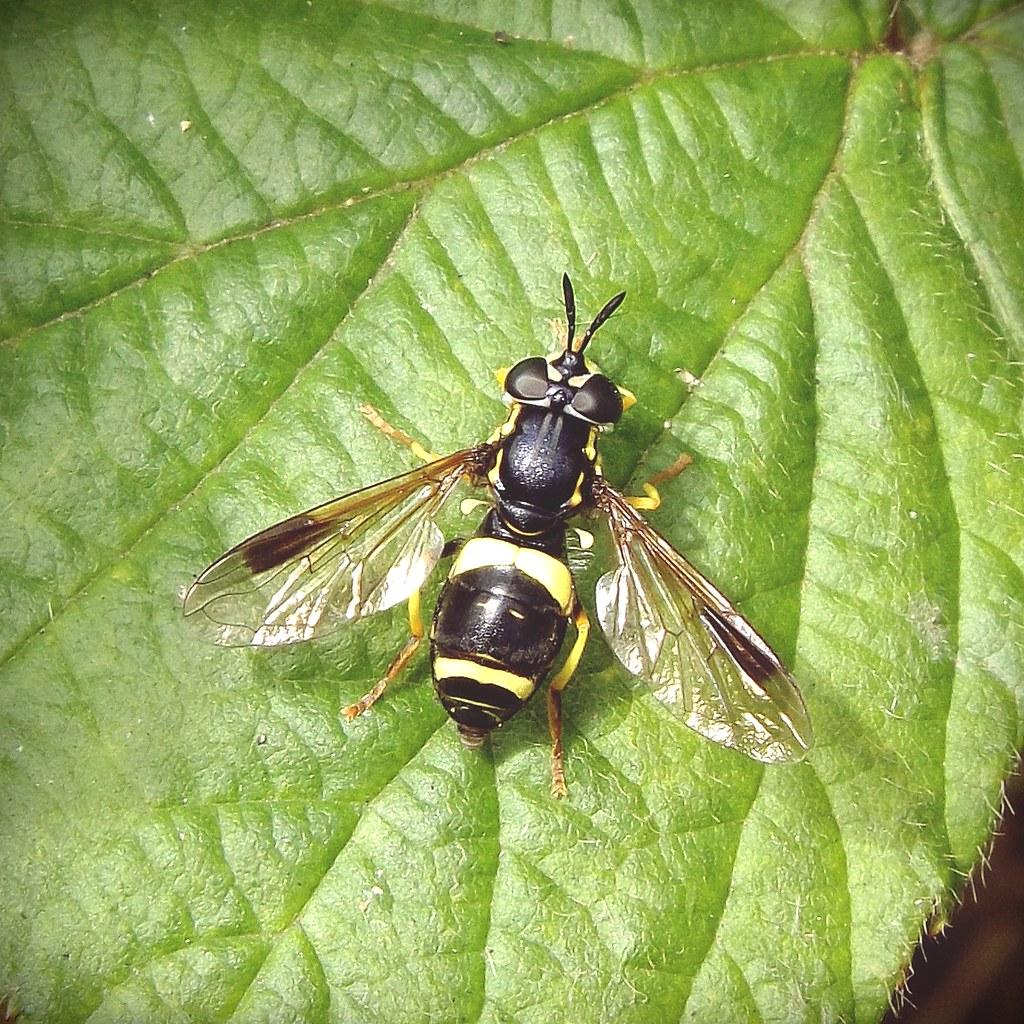 Chrysotoxum bicinctum ♀