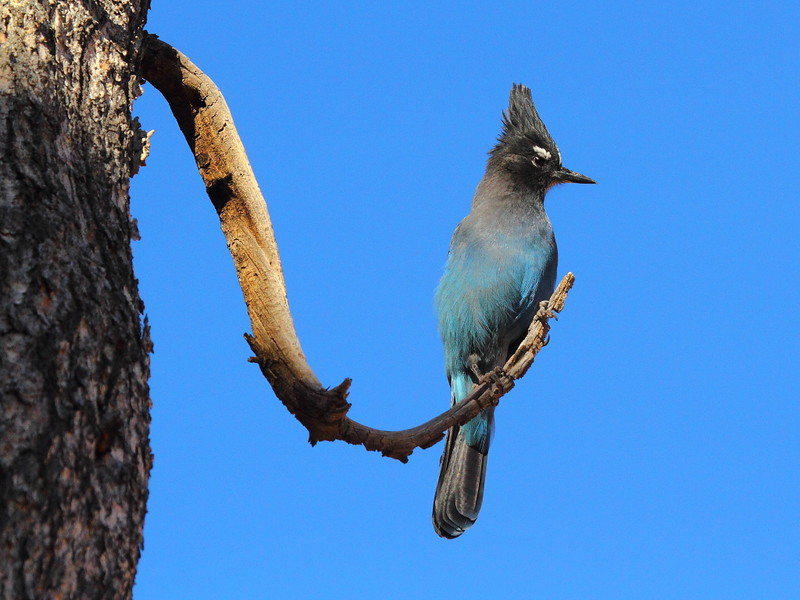 IMG_9996 Steller's Jay, Bryce Canyon National Park