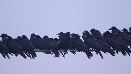 Rooks form large groups and are able to cause  significant damage to crops.