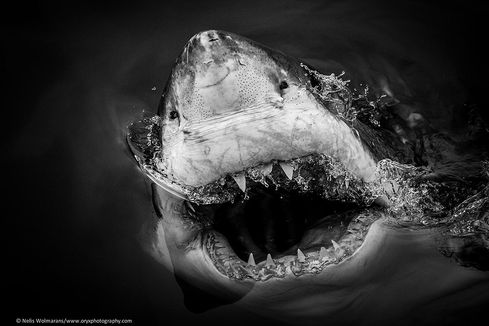 great white shark photography black and white