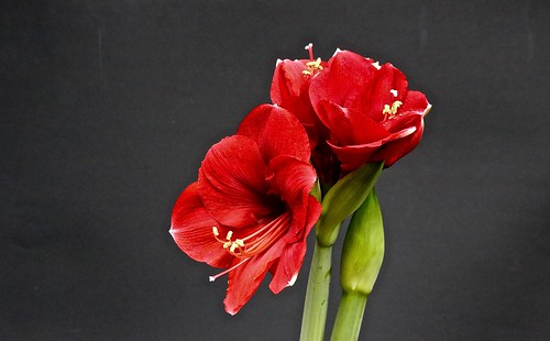 Amaryllis royal red in explore 30 12 2015 uit een bol for Amaryllis royal red arrosage