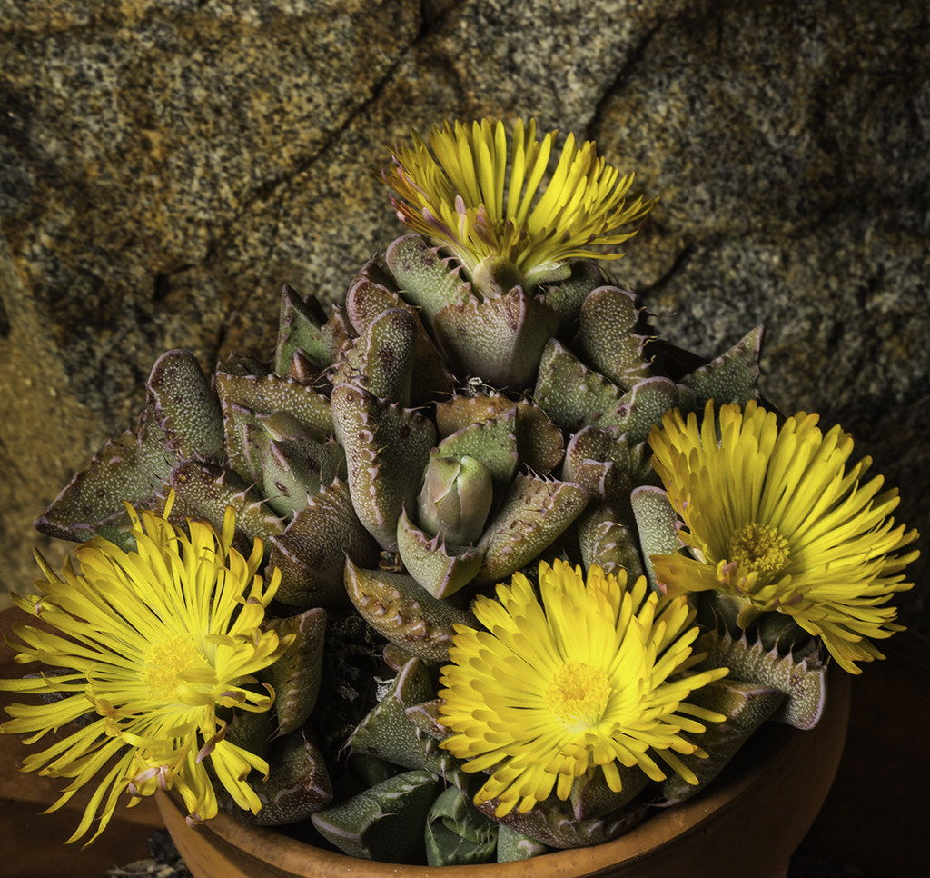 Yellow Succulent Flowers These Succulent Flowers Are In A Flickr