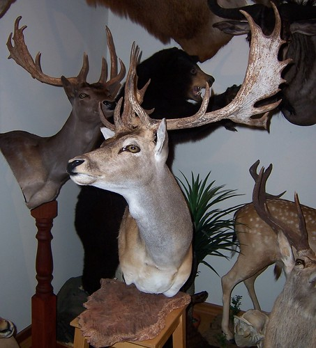 Fallow Taxidermy