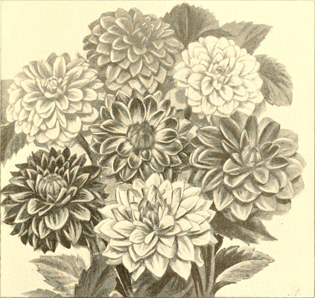 Image From Page 58 Of The Dahlia A Practical Treatise O Flickr