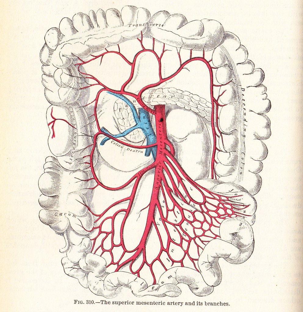 The Superior Mesenteric Artery And Branches Grays Anato Flickr