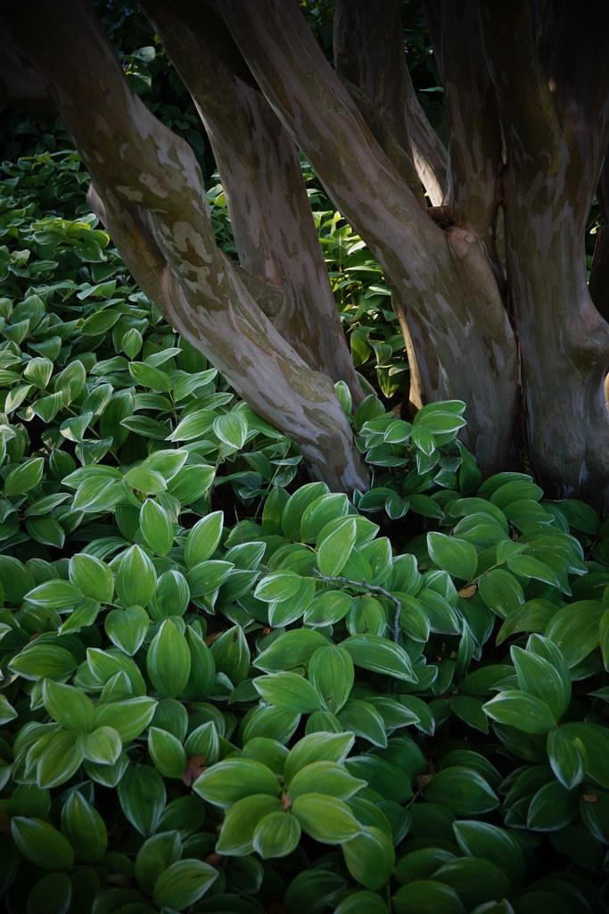 Polygonatum odoratum var  pluriflorum 'Variegatum' | Flickr