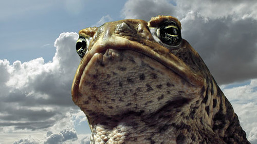 canetoads_placeholder