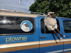 PTownie Sheeple Car