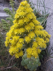 01136 Aeonium arboreum, SIEMPREVIVA ARBÓREA