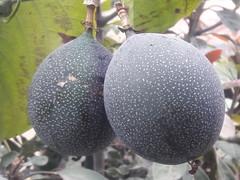 01140 Passiflora ligularis, GRANADILLA