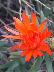 01141 Lampranthus aurantiacus, LAMPRANTO NARANJA