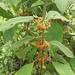 01267 Siparuna echinata, ASHNA PANGA