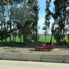 Égypte, Route entre Le Caire et Alexandrie, Abul Matamir, Transport d'une vache