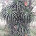 01522 Aloe arborescens, PLANTA PULPO