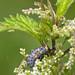 _MG_0027 7-Spot Ladybird larva (Coccinella 7-punctata), Brandon Marsh, Warwickshire 12Jul11