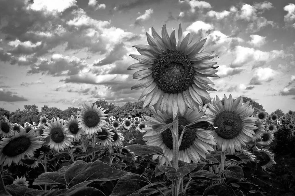 91 Black And White Sunflower Background Sunflower Print In Black