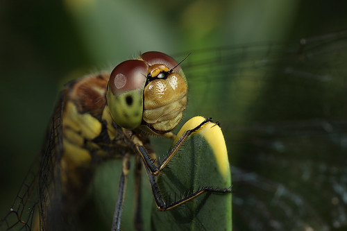 Female common darter #6 | by Lord V
