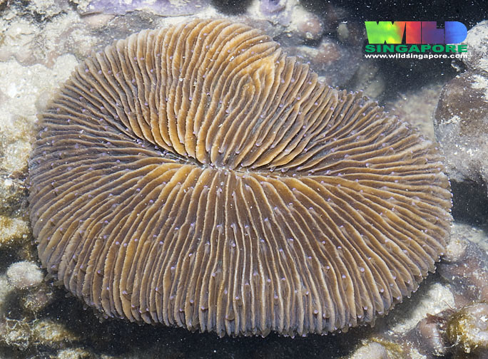 Oval Mushroom Coral Fungia Sp More About This Hard