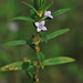 Rough Buttonweed - Diodia teres