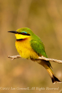 Little Bee-eater (Merops pusillus) | by Ian Gem