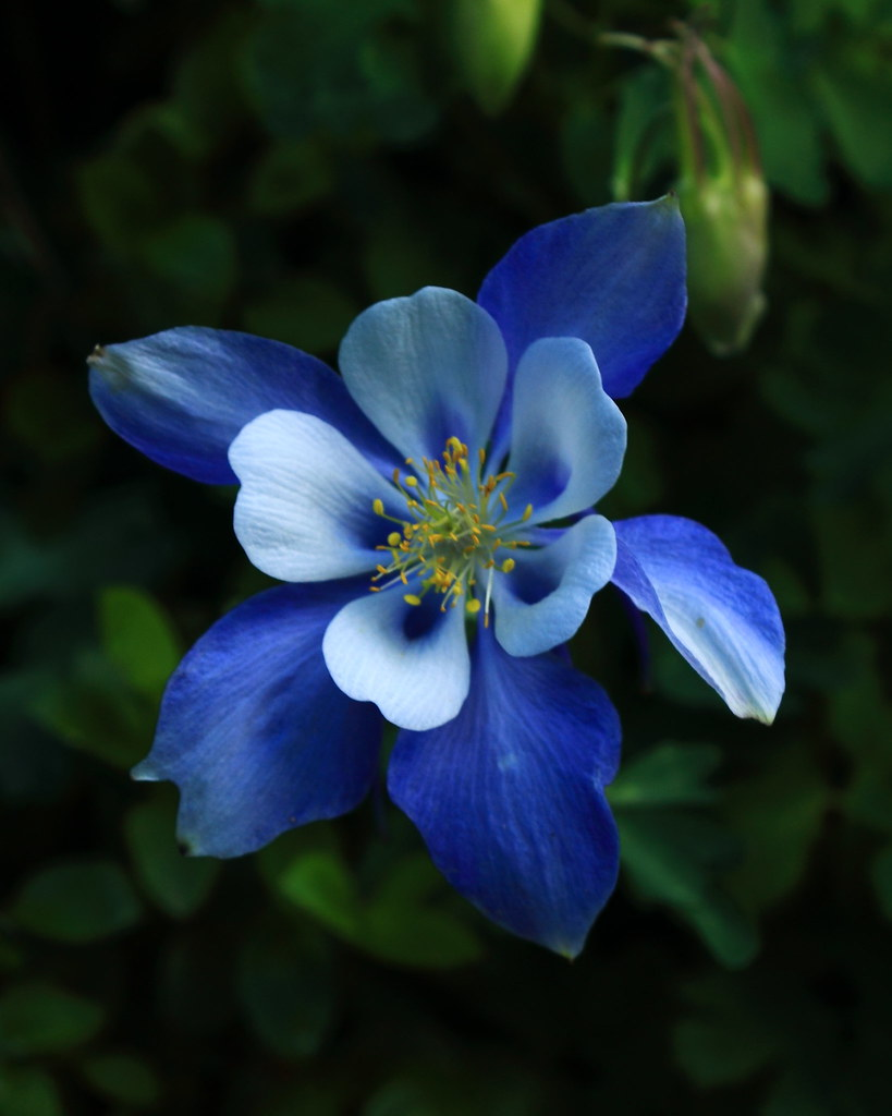 Blue columbine wildflower rocky mountain national park flickr blue columbine wildflower rocky mountain national park by danjdavis izmirmasajfo