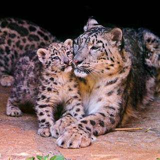 Mother and cub | by Tambako the Jaguar