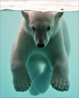 Polar Bear Cub Underwater | by Foto Martien