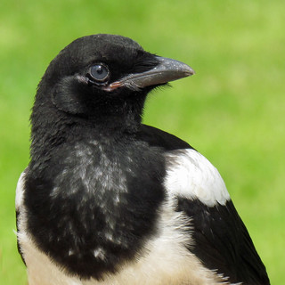 Magpie Portrait | by njchow82