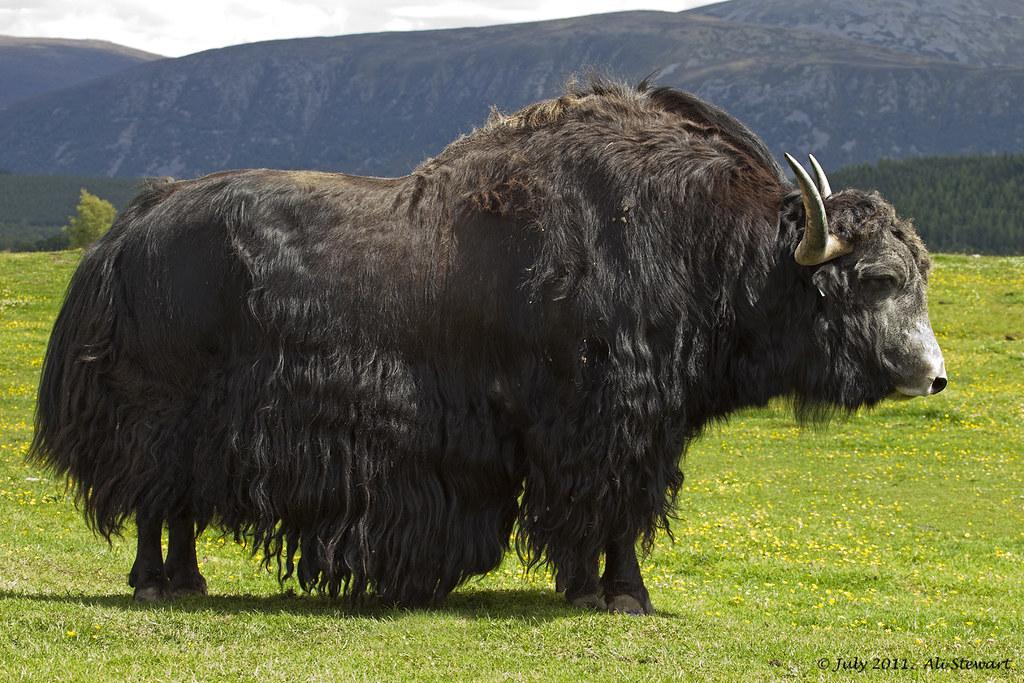 Image Of A Yak: Alastair Stewart