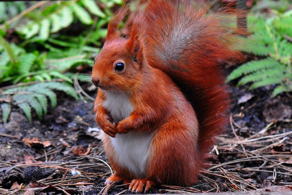 Image result for european red squirrel