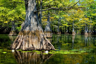 Cypress Tree and Water Lillies | by finchlake2000
