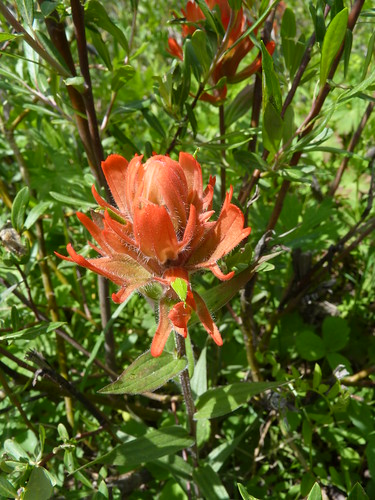 Indian Paintbrush near Gothic | by mount_evans