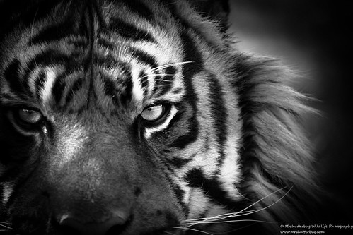 Sumatran Tiger Black and White | by Mrshutterbug.com
