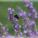 Red-Tailed Bumble Bee On Lavender