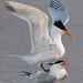 Royal Terns not playing leapfrog