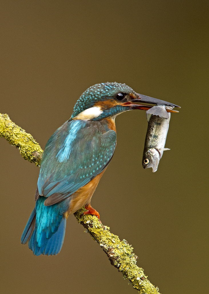 kingfisher with fish hide work can be timeconsuming