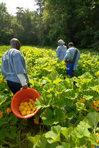 Inmate crew plants and harvests a Federalsburg farm. All the produce goes to the MD Food Bank. | by MD Department of Public Safety