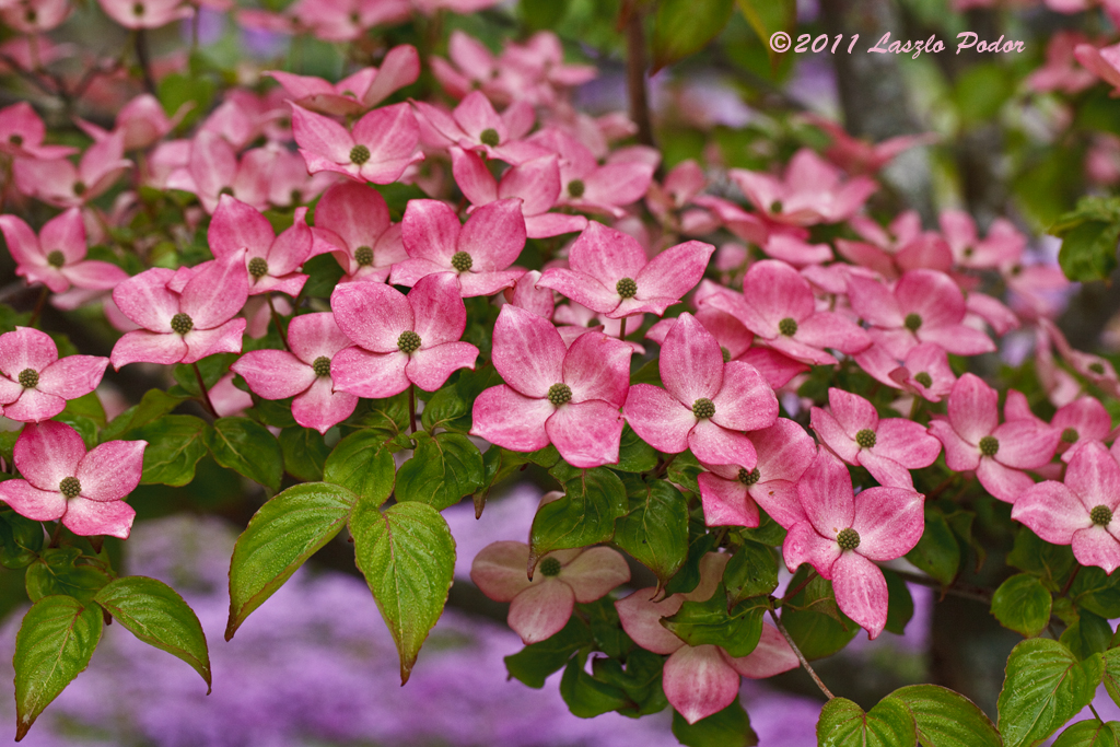our dogwood tree cornus kousa 39 satomi 39 laszlofromhalifax flickr. Black Bedroom Furniture Sets. Home Design Ideas