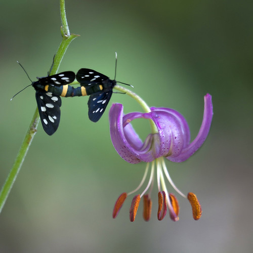 A couple of amata phegea on a lilium martagon | by giuseppedr